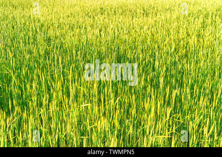 Bright dense green rye field with selective focus on the ears - Stock Image