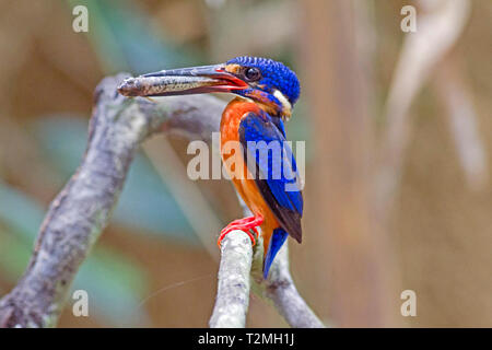 A female Blue-eared Kingfisher (Alcedo meningting) returning to it's nest with a small fish for her chicks in the forest in Southern Thailand - Stock Image