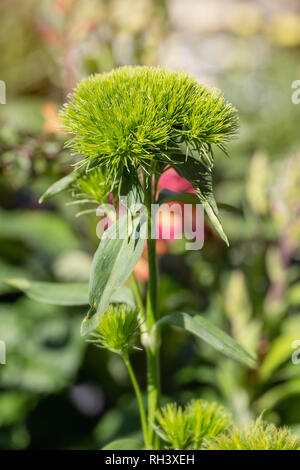 Green Ball Dianthus - Stock Image