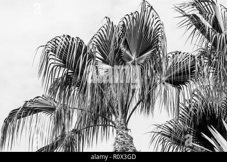 Black and white low angle image of palm tree - Stock Image
