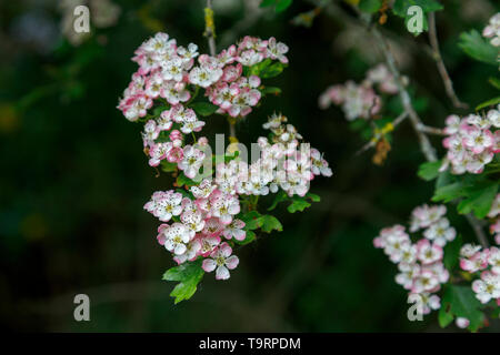 Hawthorn (crataegus) flowering with white and pink tinged flowers in late spring / early summer in Test Valley, Southampton, Hampshire, south England - Stock Image