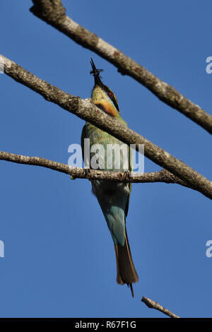 An Australian, Queensland Female Rainbow Bee-eater ( Merops ornatus ) perched on a tree branch about to eat an insect - Stock Image
