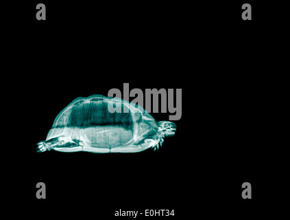 Spur-thighed Tortoise or Greek Tortoise (Testudo graeca) under x-ray Side view - Stock Image