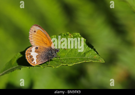 Pearly Heath (Coenonympha arcania) photographed at Bialowieza, Poland - Stock Image