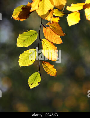Backlit Beech leaves (Fagus sylvatica) in Autumn. Tipperary, Ireland - Stock Image