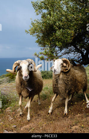 Two Male Greek Horned mountain sheep in his nature environment on the Mountains in the hills of Saronida, during early evening, East Attica, Greece. - Stock Image