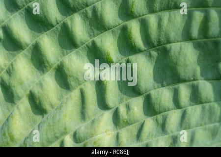 Macrlose-up of Hosta / Plantain Lily / Giboshi leaf in sunshine. - Stock Image