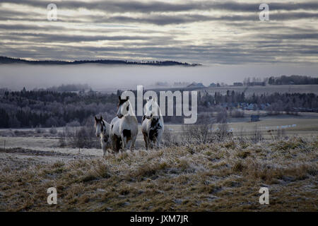 A herd of Tinker horses is approaching on a frosty pasture under a cloudy sky in Anundsjoe, Sweden. - Stock Image