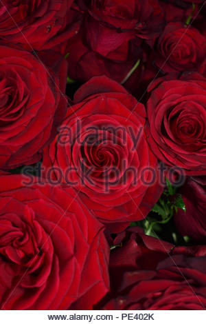 Dark Red Roses Close Up - Stock Image