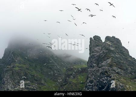 Breeding colony of northern gannets (Morus bassanus) at the isle of Boreray in the Saint Kilda archipelago, Scotland. - Stock Image
