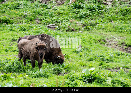 European bison (Bison bonasus) young with adult grazng in meadow in forest, Bieszczady National Park, Poland. - Stock Image