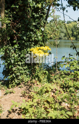 Common ragwort by lake in park - Stock Image