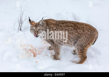 European Lynx (Felis lynx) eating prey in the snow, Finland - Stock Image
