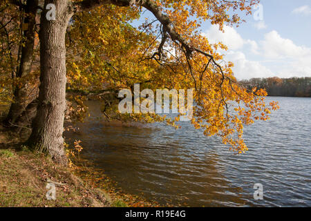 a beech tree hangs over the Tarn in autumn, Puttenham, nr Godalming & Guildford, Surrey, England - Stock Image
