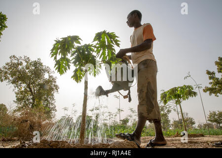 Samba village, Yako Province, Burkina Faso: Denis Zoundi, 45, husband of Collette Guiguemde, watering a small papaya tree on his market garden. - Stock Image