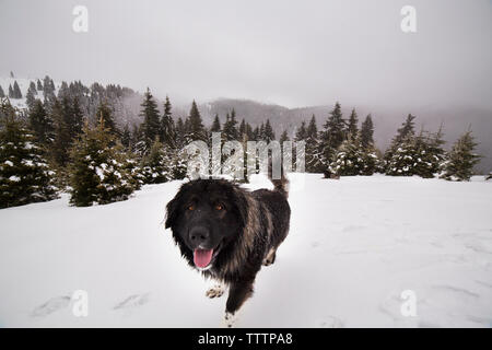 Portrait of dog standing on snowy mountain - Stock Image