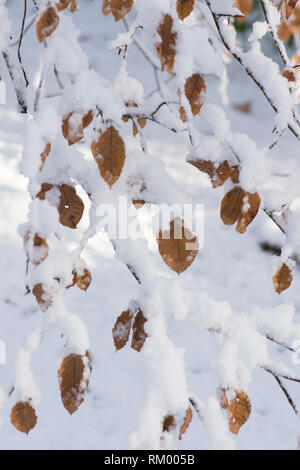 Common Beech, Fagus sylvatica, old beech leaves hanging from a branch and twigs in snow, February, UK - Stock Image