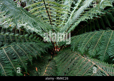 Crown of tree fern (Dicksonia antarctica), Notley Fern Gorge State Reserve, near Launceston, Tasmania, Australia - Stock Image