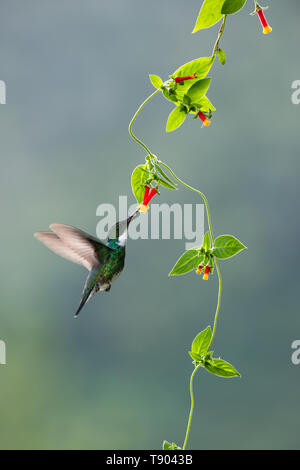 A White-throated Hummingbird (Leucochloris albicollis) visiting a native creeper from the Atlantic Rainforest of SE Brazil - Stock Image