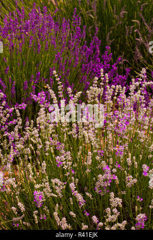 Harrisonburg, Virginia. Pink and purple lavender field - Stock Image