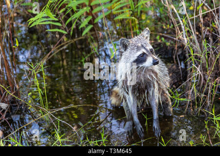 The North American Raccoon, wet from feeding in the Okefenokee swamp. - Stock Image