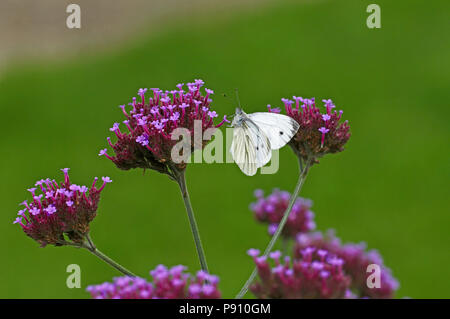 Large White Butterfly on Verbena Bonariensis in a cottage garden - Stock Image