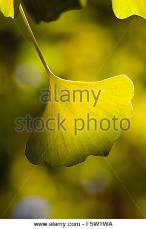 Ginkgo biloba also known as ginkgo, gingko and maidenhair tree - Stock Image