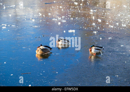 Ducks relaxing on a frozen lake - Stock Image