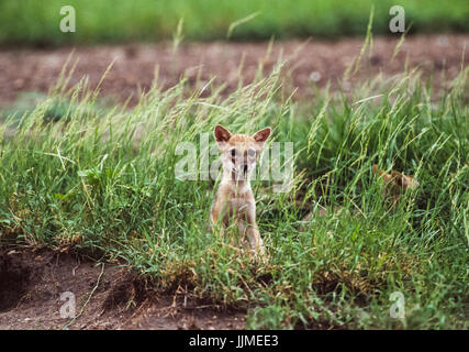 Indian Jackal, (Canis aureus indicus) cub near den, Blackbuck National Park, Velavadar, Gujarat, India - Stock Image