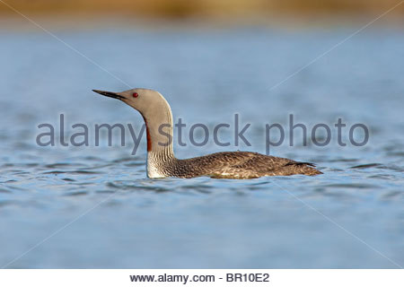 RED THROATED DIVER Gavia stellata - Stock Image
