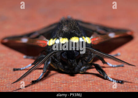 Front Close-up of a Moth. Boquete, Panama - Stock Image