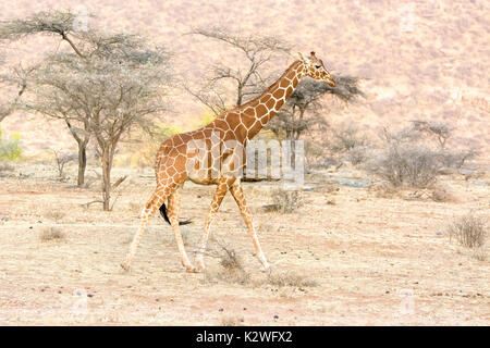Side view of a solitary Reticulated Giraffe, Giraffa camelopardalis reticulata, walking in Buffalo Springs National Reserve, Kenya, East Africa - Stock Image