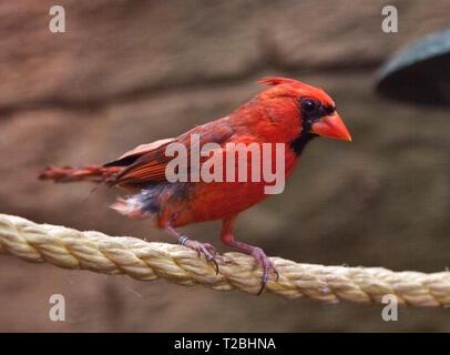 Northern Cardinal (cardinalis cardinalis) - Stock Image