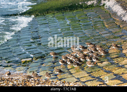 Turnstone (Arenaria interpres) huddled together at the waters edge of the Thames esturay, Southend-on-Sea Essex England UK. April 2019 - Stock Image