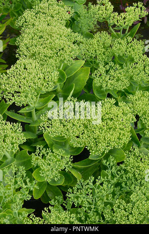 Close up of Sedum 'Stardust' in a flower border - Stock Image