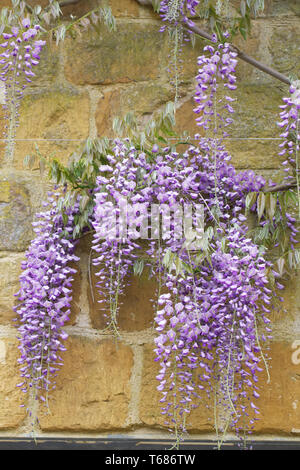 Wisteria sinensis growing against a stone wall. - Stock Image