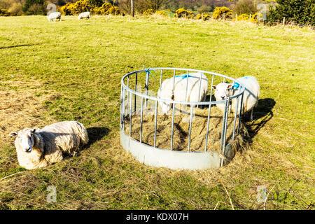 The Herdwick sheep breed, Domestic sheep breed, Herdwick sheep, sheep eating hay, sheep feeding, Herdwick sheep - Stock Image