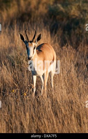 Front view of a single Springbok, Antidorcas marsupialis, in Etosha National Park, Namibia, Southern Africa - Stock Image