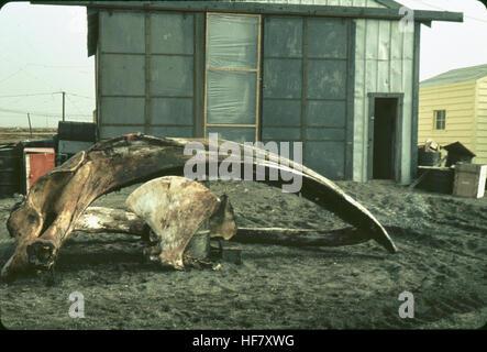 Whale bones (mandible, etc.) outside of hut; Point Barrow, Alaska. - Stock Image