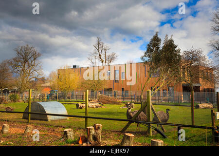 Rheas in a fenced enclosure at the Berkshire college of agriculture - Stock Image