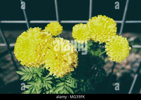 Yellow Chrysanthemum Flower Growing beside The Fence. - Stock Image