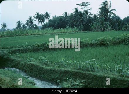 Rice fields near Jogjakarta; Java, Indonesia. - Stock Image