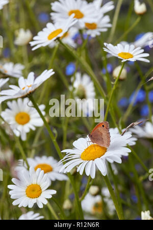 Meadow Brown butterfly on Oxeye Daisy flower. West Molesey, Surrey, England. - Stock Image