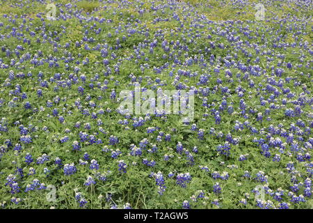 Field of blooming bluebonnets during spring in Texas - Stock Image