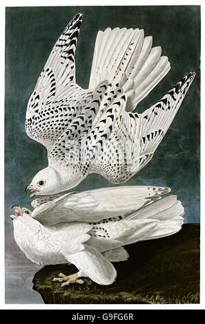 Gyrfalcon, Falco rusticolus, birds, 1827 - 1838 - Stock Image