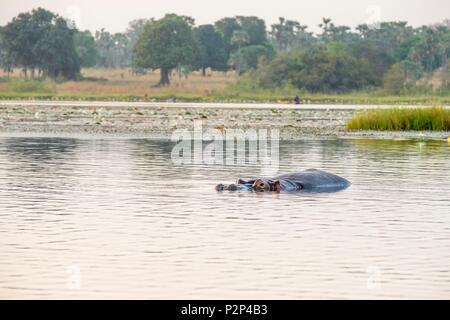Burkina Faso, Cascades region, Tengrela, hippopotamus in the great lake - Stock Image