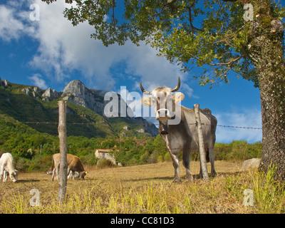 Cows in pasture near  Sicignano with Alburni Mountains, Cilento National Park, province of Salerno, region of Campania, - Stock Image