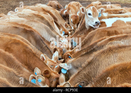 Young Jersey calves feeding 'grain mixture',  gathered around feeding trough. - Stock Image