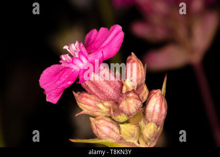Colour macro photograph of single isolated red campion flower on dark background. Poole, Dorset, England. - Stock Image