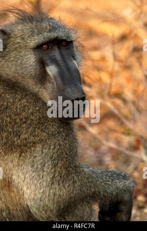 Chacma Baboon portrait ( Papio ursinus ) Kruger Park, South Africa - Stock Image